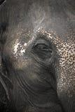 Ascendente próximo do elefante Imagem de Stock Royalty Free