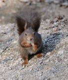 Ascendente próximo do esquilo Fotografia de Stock