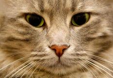 Ascendente próximo do gato Foto de Stock Royalty Free