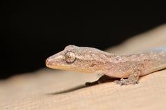 Ascendente próximo do Gecko Fotos de Stock