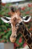 Ascendente próximo do girafa Fotografia de Stock