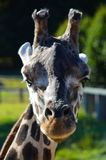 Ascendente próximo do Giraffe Imagem de Stock Royalty Free