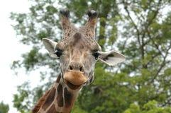Ascendente próximo do Giraffe Fotografia de Stock Royalty Free
