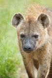 Ascendente próximo do Hyena Imagens de Stock Royalty Free