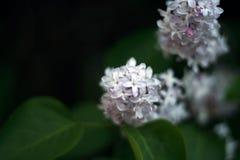Ascendente próximo do Lilac Imagem de Stock Royalty Free