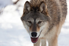 Ascendente próximo do lobo Fotografia de Stock