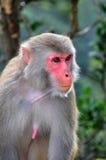 Ascendente próximo do macaco Imagem de Stock