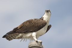 Ascendente próximo do Osprey, parque nacional dos marismas Foto de Stock