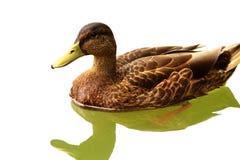Ascendente próximo do pato selvagem Imagem de Stock