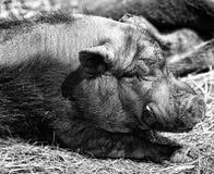 Ascendente próximo do porco Imagens de Stock