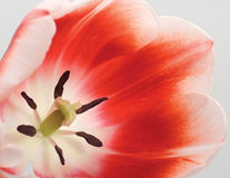Ascendente próximo do Tulip Fotografia de Stock Royalty Free