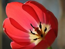 Ascendente próximo do Tulip fotos de stock royalty free
