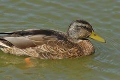 Ascendente pr?ximo do pato selvagem P?ssaro selvagem que flutua no lago Retrato do animal fotografia de stock