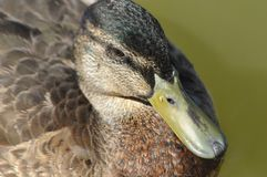 Ascendente pr?ximo do pato selvagem P?ssaro selvagem que flutua no lago Retrato do animal foto de stock