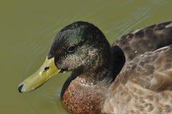 Ascendente pr?ximo do pato selvagem P?ssaro selvagem que flutua no lago Retrato do animal imagens de stock