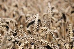 Ascendente próximo do trigo Foto de Stock