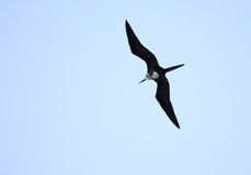 Ascension Frigatebird Royalty Free Stock Images