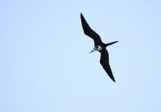 Ascension Frigatebird. (Fregata aquila).  Cuba Royalty Free Stock Images