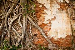 Ascensione dell'albero della radice sul vecchio muro di mattoni Fotografia Stock