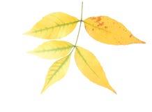 Asche-Baum Blätter Lizenzfreie Stockbilder