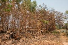 Asche und gebrannter Baum nach Feuer Stockfoto