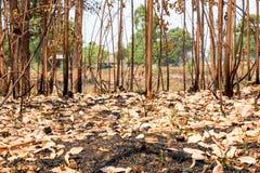Asche und gebrannter Baum nach Feuer Stockfotos