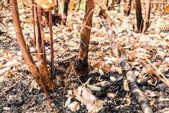 Asche und gebrannter Baum nach Feuer Lizenzfreie Stockfotografie