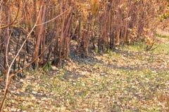 Asche und gebrannter Baum nach Feuer Lizenzfreie Stockbilder
