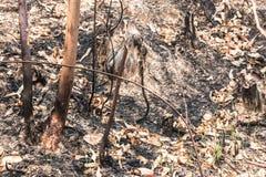Asche und gebrannter Baum nach Feuer Lizenzfreie Stockfotos