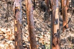 Asche und gebrannter Baum nach Feuer Stockfotografie