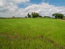 Asche vom Burning des Reisstrohs auf den Gebieten stockfoto