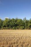 Aschenbäume und Stubble lizenzfreie stockfotografie