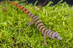 Aschiger Gecko/Sphaerodactylus-elegans stockbilder