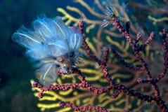 Ascidia sur Gorgonia Photo stock