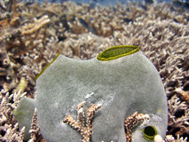 Ascidian underwater royalty free stock photography