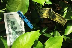 Asciugando 100 dollari di fattura Immagini Stock Libere da Diritti
