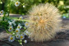 Asciughi all'aria il fiore sotto forma di ombrelli (simili al dente di leone) e di margherite del campo su una tavola di legno Fotografia Stock