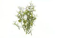 Asciughi della pianta di paniculata di Andrographis su uso bianco del fondo per Immagini Stock Libere da Diritti