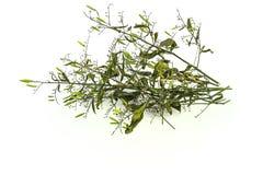 Asciughi della pianta di paniculata di Andrographis su uso bianco del fondo per Immagini Stock