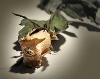 Asciughi di rosa fotografie stock libere da diritti