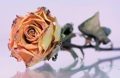 Asciughi di rosa con scintillio artificiale con la riflessione Fotografie Stock Libere da Diritti