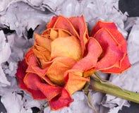 Asciughi di rosa e le ceneri Fotografia Stock