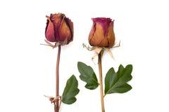 Asciughi e verde bianco isolato il petalo rosa Fotografie Stock Libere da Diritti