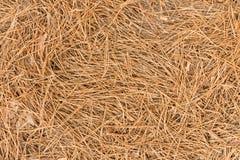 Asciughi gli aghi del pino marrone sbriciolati insieme ai coni alla terra Fotografia Stock