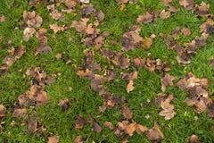 Asciughi i fogli sull'erba Immagini Stock