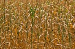 Asciughi i gambi gialli del primo piano del cereale al giorno di estate soleggiato Fotografia Stock
