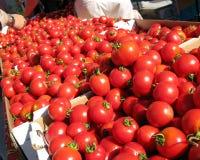 Asciughi i pomodori precoci coltivati della ragazza Fotografia Stock Libera da Diritti
