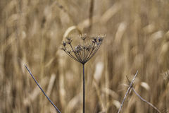 Asciughi il fiore hogweed Fotografia Stock Libera da Diritti