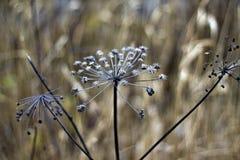 Asciughi il fiore hogweed Fotografia Stock