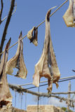 Asciughi il pesce Formentera fotografie stock libere da diritti